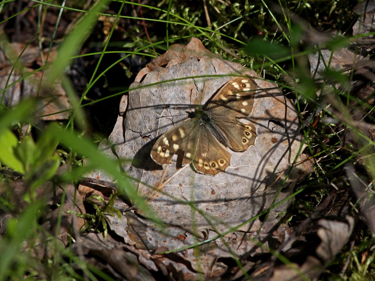 Kvickgräsfjäril Pararge aegeria Speckled Wood, Alderängarna, Dalarna