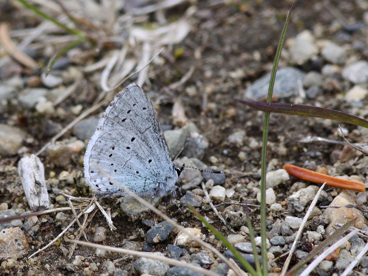 Tosteblåvinge Celastrina argiolus Holly Blue Sorsele, Lycksele Lappmark