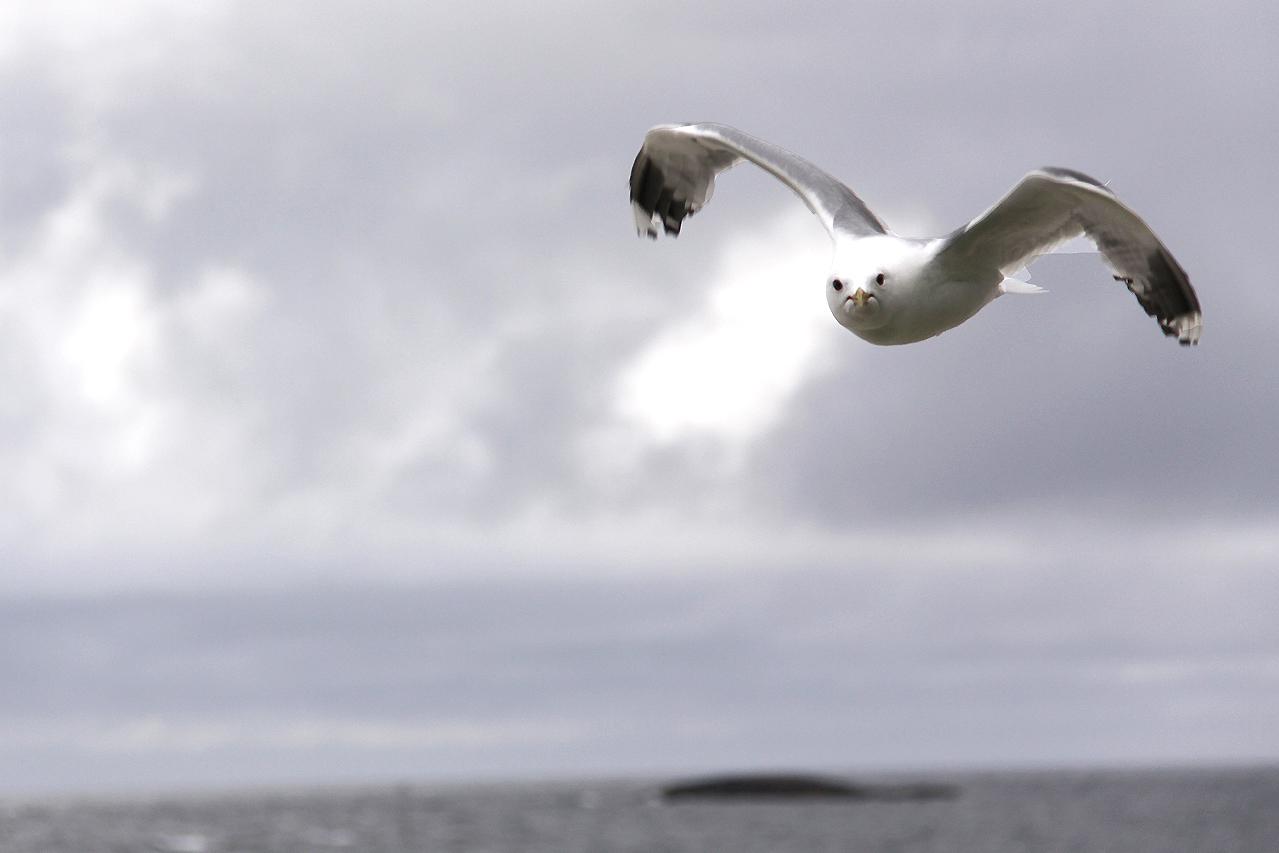 Fiskmås Larus canus Common Gull