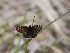 Sotnätfjäril (Melitaea diamina, False Heath Fritillary) en av de arter som kan förväxlas med veronikanätfjärilen. Dold lokal.