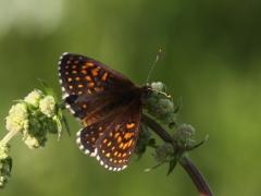 Sotnätfjäril (Melitaea diamina, False Heath Fritillary). Dold lokal.