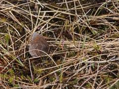 Disas gräsfjäril (Erebia disa, Disa Alpine) Krokvik, En skygg fjäril som lever i mossar och myrar. Om den stöts flyger den långt, störtdyker ner i vegetationen och gömmer sig. En fotografs mardröm. Jukkasjärvi, T lm