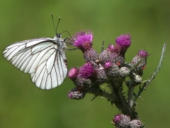 Hagtornsfjäril Aporia crataegi Black-veined White