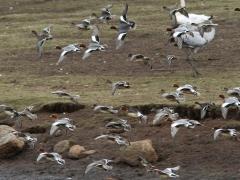 Bläsand (Anas penelope, Eurasian Wigeon). Hornborgasjön, Vg.