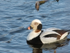 Alfågel (Clanga hyemalis, Long-tailed Duck). Bäckaslövs våtmark. Bokhultets NR. Växjö, Sm.