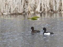 Vigg par Aythya fuligula Tufted Duck