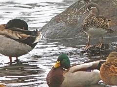 Mandarinand, hona (Aix galericulata, Mandarin Duck) Helgasjön, Växjö, Sm.  2020-11-30