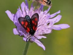 Mindre bastardsvärmare (Zygaena viciae, New Forest Burnet) Bäckaslövs Gärde, Bokhultet NR, Sm, Väddsandbi (Andrena hattorfiana)