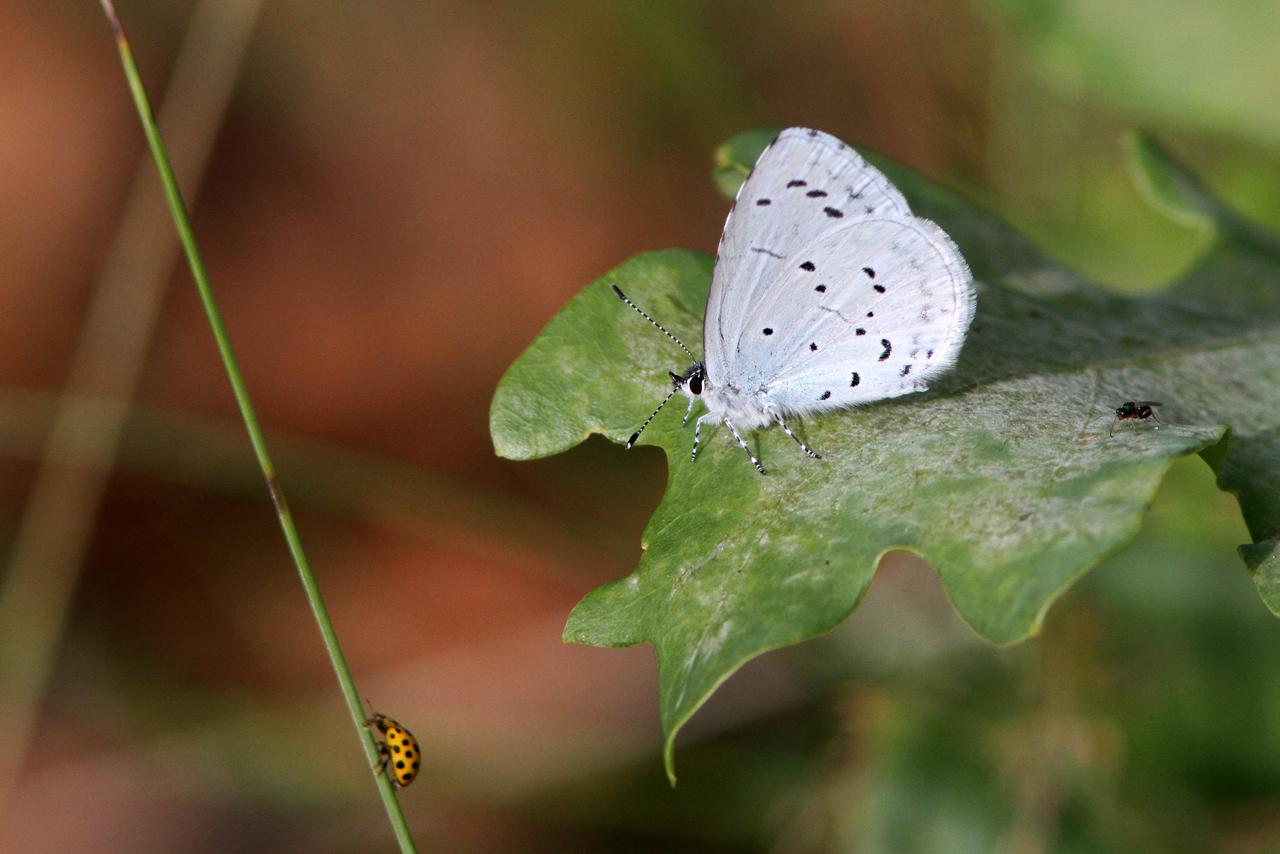 Tosteblåvinge Celastrina argiolus Holly Blue