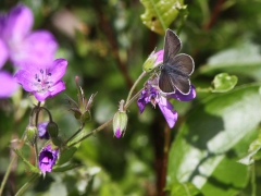 Brun blåvinge Aricia eumedon Geranium Argus