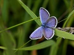 Kronärtsblåvinge, hane(Plebejus argyrognomon, Reverdin's Blue) dold lokal, Småland