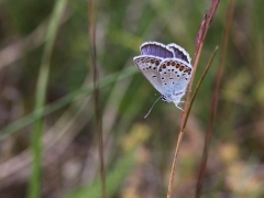 Ljungblåvinge Silver-studded Blue