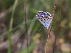 Ljungblåvinge, hane (Plebejus argus, Silver-studded Blue) Horna, Åhus, Skåne