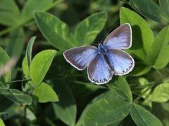 Puktörneblåvinge,hona (Polyommatus icarus, Common Blue) Biparadiset, Bokhultet NR, Växjö, Sm.