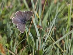 Alkonblåvinge, hona( Maculinea alcon,  Alcon Blue) Hunneröds Mosse, Börringe, Skåne
