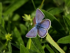Ängsblåvinge (Cyaniris semiargus, Mazarine Blue) Grinduga, Gävle, Gästrikland.