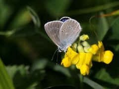 Ängsblåvinge Cyaniris semiargus Mazarine Blue