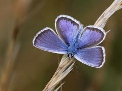 Ljungblåvinge Plebejus argus Silver-studded Blue