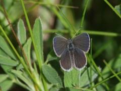 Mindre blåvinge, hane (Cupido minimus Small Blue) Sånnarna, Åhus, Sk.