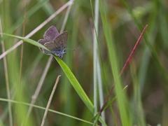 Mindre blåvinge, hane (Cupido minimus, Small Blue) Horna, Åhus, Sk.
