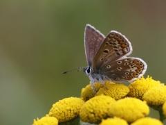 Puktörneblåvinge, hona (Polyommatus icarus, Common Blue) Biparadiset, Bokhultet NR, Växjö, Småland.