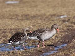 Grågås (Anser anser, Greylag Goose) Lidhem, Småland