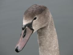 Knölsvan (Cygnus olor, Mute Swan) Landön, Skåne