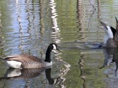 Kanadagås (Branta canadensis, Canada Goose) Växjösjön