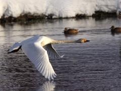 Sångsvan (Cygnus cygnus, Whooper Swan) Helgevärma, Växjö, Sm.