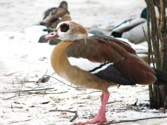 Nilgås Alopochen aegyptiaca Egyptian Goose