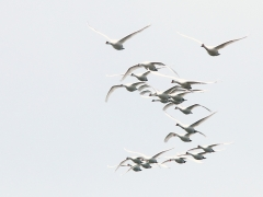 Knölsvan (Cygnus olor, Mute Swan) Lindö, Bl.