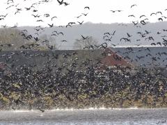 Vitkindad gås (Branta leucopsis, Barnacle Goose Isternäset, Kristianstad, Sk.