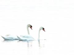 Knölsvan (Cygnus olor, Mute Swan) Senoren, Bl.