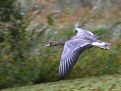 Bläsgås Anser albifrons Greater Whitefronted Goose