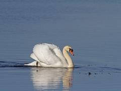 Knölsvan (Cygnus olor, Mute Swan) Hornborgasjön, Västergötland
