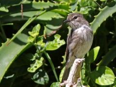 Mörkgrå flugsnappare (Muscicapa adusta,  Afr.  Dusky Flycatcher).