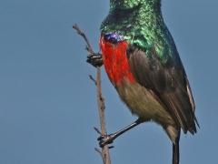 Sydafrikansk solfågel (Cinnyris afer, Greater Double -collared Sunbird) som poserade vid strandskogen.