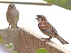 Akaciasparv ( Passer motitensis, Great Sparrow).