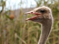 Vi besöker Oudshoorn som är ett centrum för uppfödning av strutsar. Struts (Struthio camelus, Common Ostrich).