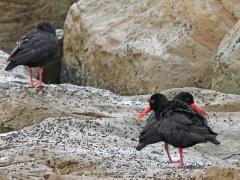 Svart strandskata (Haematupus ostalegus, Afr. Black Oystercatcher).