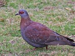 Guineaduva (Speckled Pigeon, Columba guinea).