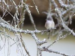Askflugsnappare  (Muscicapa caerulescens, Ashy Flycatcher).