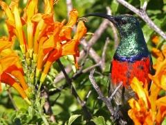 Sydafrikansk solfågel (Cinnyris afer, Greater Double -collared Sunbird) som lekte kurragömma i den täta skogen tills den slut fastnade på bild.