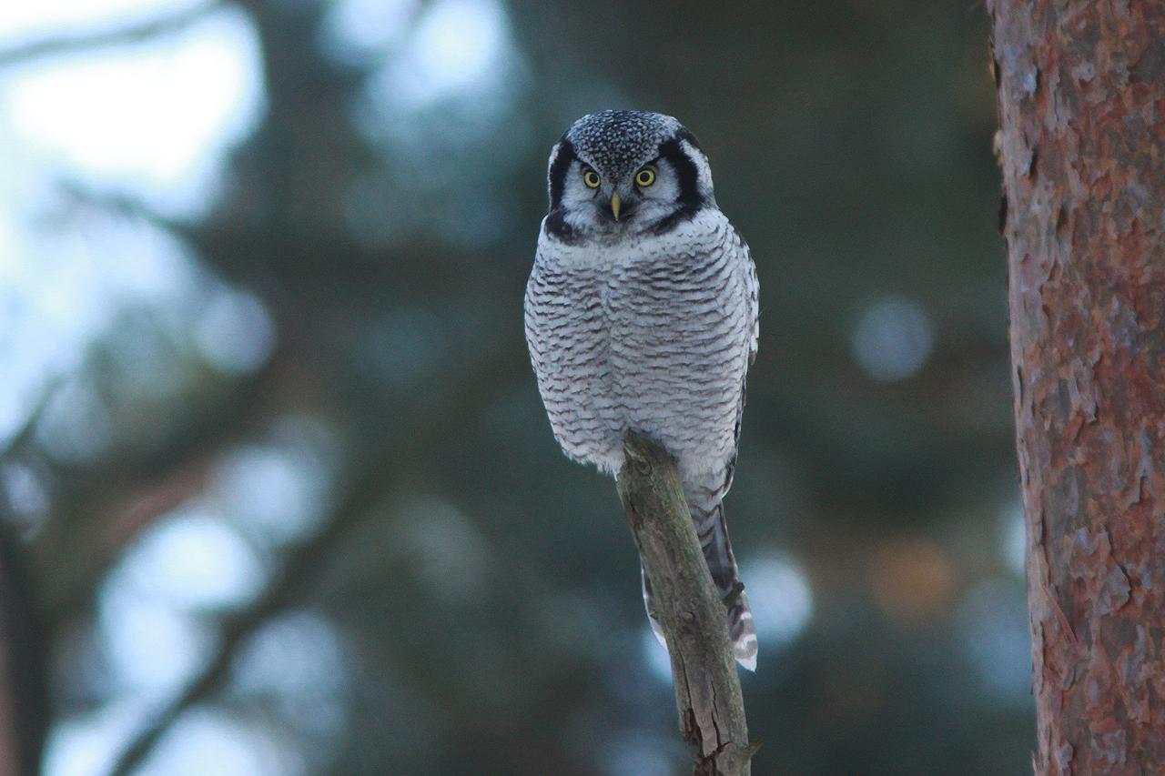 Hökuggla Surnia ulula Northern Hawk Owl