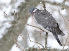 Ringduva Columba palumbus Common Wood Pigeon
