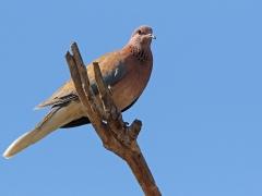 Palmduva (Streptopelia senegalensis, Laughing Dove) Maspalomas, Gran Canaria, Spain.