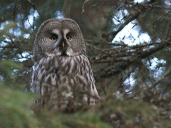 Lappuggla (Strix nebulosa, Great Grey Owl) Växjö kommun, Sm.