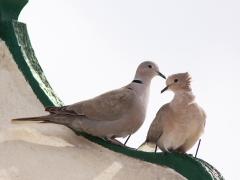 Turkduva (Streptopelia decaocto, Eur, Collared Dove) Maspalomas, Gran Canaria, Spain.