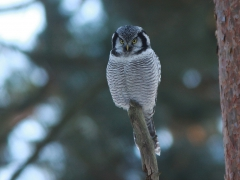 Hökuggla (Surnia ulula, Northern Hawk Owl) Tosteberga Fure, Kristianstad, Sk.