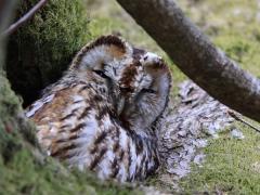Kattuggla (Strix aluco, Tawny Owl) Bokhultets NR, Växjö, Sm.